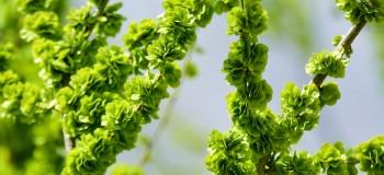 【散文随笔】三月的嫩绿树 文/冰山雪莲