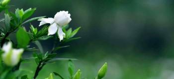 桅子花的季节 (雪莲文字)
